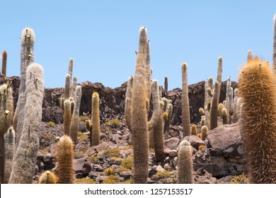 Incahuasi island ( Cactus Island) located at Salar de Uyuni the largest salt flat area in Bolivia. Uyuni, Bolivia
