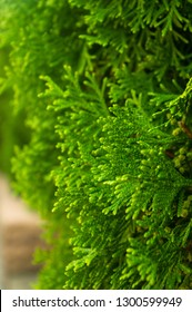 Incense cedar tree Calocedrus decurrens branch close up.