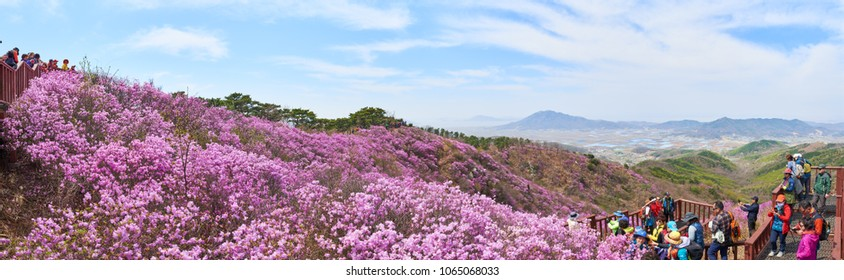 Incheon, Korea - April 19, 2017:  Goryeosan azalea festival, which is held at the end of April every year. Goryeosan is a highest mountain in Ganghwa island.