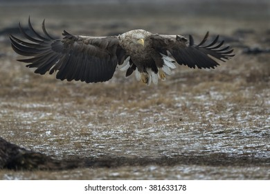 Incoming white-tailed eagle