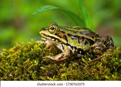 Inconspicuous edible frog, pelophylax esculentus, hiding below a green leaf in summer. Camouflaged wild animal merging with the environment. Amphibian looking with large eye in nature from side view.