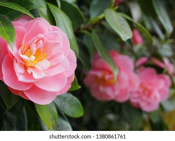 Incredible beautiful camellia - Camellia japonica, known as common camellia or Japanese camellia.