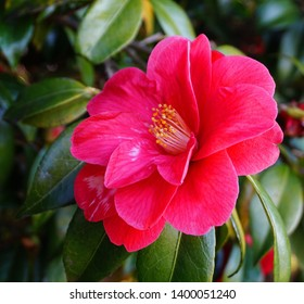 Incredible beautiful red camellia - Camellia japonica, known as common camellia or Japanese camellia.