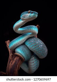 incredible blue viper
