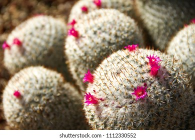 Incredible close-up of a cropping of several blooming Mammillaria Haageana cacti in a desert garden.