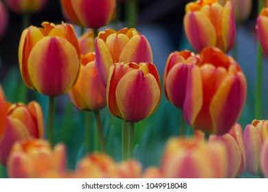Incredible multi-colored orange, red, pink and purple tulip field  or meadow on a spring day.