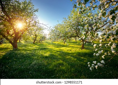 Incredible ornamental garden with blooming lush trees on a sunny day. Seasonal background. Flowering orchard in spring time. Scenic image of trees in dramatic garden. Beauty of earth, Ukraine.