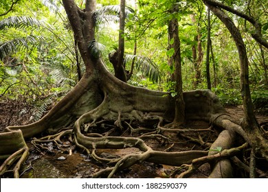 Incredible roots looking like dragon paws of Ficus Variegata Blume in the middle of a lush tropical jungle. Iriomote Island.