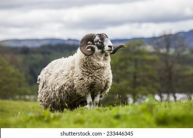 Incredible scottish sheep - long hair and mighty horns, Scotland