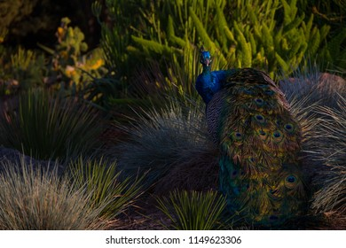 Incredible shot of a peacock in a desert landscape amongst rocks and bushes at sunsets golden hour.
