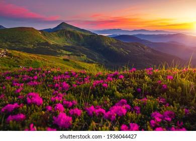 Unglaublicher Sommersonnenuntergang mit rosafarbenen Rhododendren-Blumen. Ort Karpaten Berge, Ukraine, Europa. Lebendiges Foto-Bildschirmhintergrund. Bild der exotischen Landschaft. Entdecken Sie die Schönheit der Erde.