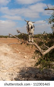 The incredible tree-climbing goats of Morocco