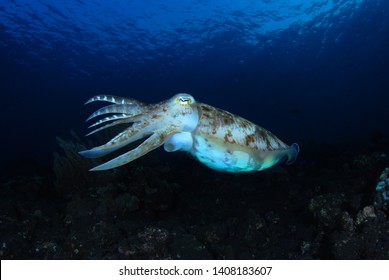 Incredible Underwater World - Cuttlefish. Blue ocean. Tulamben, Bali, Indonesia.