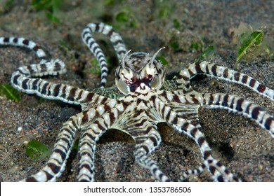 Incredible Underwater World - Mimic octopus - Thaumoctopus mimicus. Diving and underwater photography. Tulamben, Bali, Indonesia.