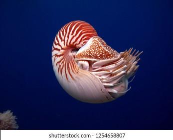 Incredible underwater world - Nautilus, Palau.