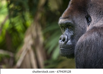 Incredible western lowland silverback gorilla