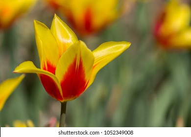 Incredible yellow and red fully opened tulip in a field or meadow on a bright spring day.