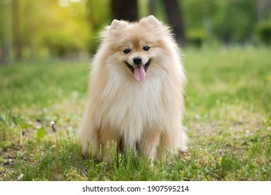 incredibly beautiful cream-colored Pomeranian in the park