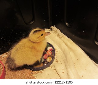 Incubator Hatched Yellow Fuzzy Duckling