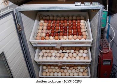 incubator , turkey eggs