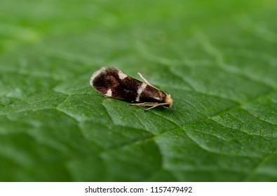 Incurvaria praelatella moth. Sitting on a leaf.