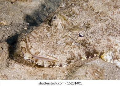 indean ocean crocodilefish (papilloculiceps longiceps)
