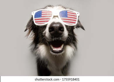 Independence day 4th of july border collie dog. Isolated on gray background.
