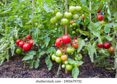 Plantas de vid de tomate indeterminado (cordón) que crecen en el exterior en un jardín inglés, Reino Unido