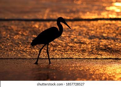 India, 10 November, 2020 : An egret standing on wetland, ocean wave, sunset background, ocean sunset.