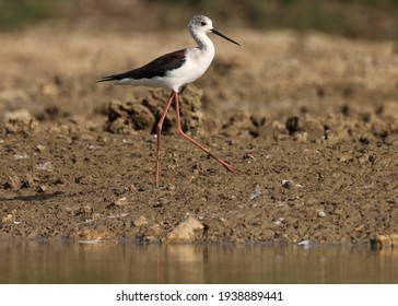 India, 12 March, 2021 : Stilt bird. Black winged stilt bird at river. The black-winged stilt is a widely distributed very long-legged wader in the avocet and stilt family.