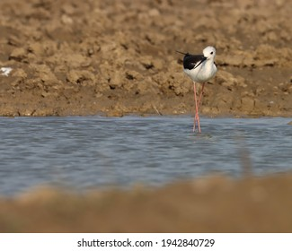 India, 13 March, 2021 : Stilt bird. Black winged stilt bird at river. The black-winged stilt is a widely distributed very long-legged wader in the avocet and stilt family.