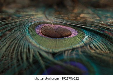 India, 19 February, 2021 : Close up of peacock feather, Peafowl feather, Peafowl feather background, Peacock eye feather, Peafowl, Background, Mor pankh.