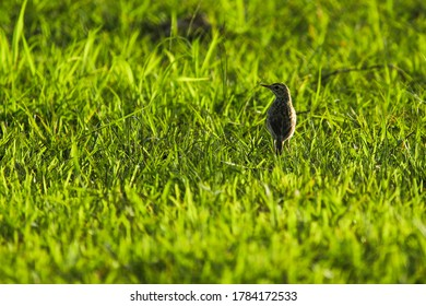 India, 20 July, 2020 : The Paddyfield Pipit Bird Or Oriental Pipit Bird (Anthus Rufulus) .