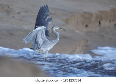 India, 22 March, 2021 : Heron on the beach, Heron, Egret, beach, wading bird, waterfowl, wetland, Shoreline, Shorebird, Coastal bird, Aquatic bird, wading, Coastal.