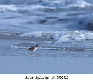India, 24 March, 2021 : Sandpiper bird. The common sandpiper is a small Palearctic wader. Common sandpiper bird standing on ocean water. Water bird. Shoreline.