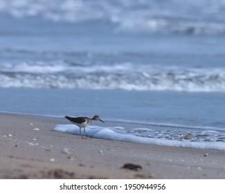 India, 24 March, 2021 : Sandpiper. Common sandpiper at sea. Water bird. Seabird. The common sandpiper is a small Palearctic wader.
