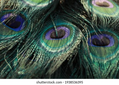 India, 26 February, 2021 : Peacock feather, Close up of peacock feather, Peafowl feather, Peacock feather background, Peafowl, Background.