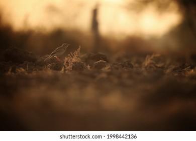 India, 29 November, 2020 : Paddyfield pipit on the farm, Paddyfield pipit, Oriental pipit, passerine bird,  Anthus rufulus.