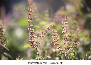 India, 6 January, 2021 : Holy basil, Tulsi, Tulsi flower, Holy basil flower, Tulsi plant, Ocimum tenuiflorum, Ocimum sanctum, Aromatic plant.