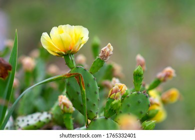 India cactus blooming