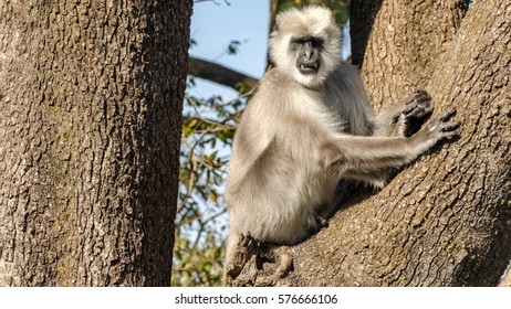 India Himachal Pradesh Kasauli Near Shimla Hanuman Mandir January 2017 Gray Langur
