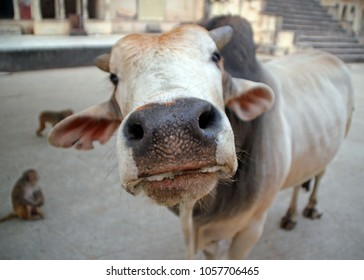 India. The inquisitive cow