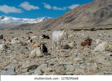 India, Jammu & Kashmir, Ladakh, pashmina goats in a high altitude landscape with snow-capped mountains in the background at the nomadic encampment of Dibring Village.