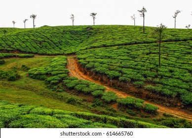 India Periyar Thekkady tea plantation A