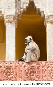 India, Rajasthan, Jaipur, Amber Fort. Monkey in the courtyard.