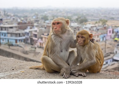 India, Rajasthan, Jaipur, indian monkeys clean each other, the city of Jaipur in the background