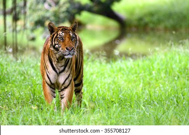 India Tiger standing at indian forest