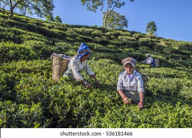 INDIA, WEST BENGAL, DARJEELING, 19-10-2016: women plucking tea on a tea estate near darjeeling. Darjeeling teas are regarded as one of the best world wide.