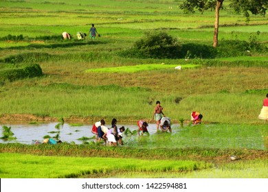 India,Jharkhand,Ranchi-08/09/2018  women working on there field. Indian traditional way of farming.