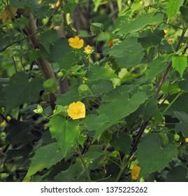Indian abutilon or Indian mallow (Abutilon Indicum)